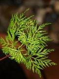 Acer palmatum Seiryu 3 ltr_