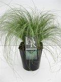 Carex comans Frosted Curls 5 ltr