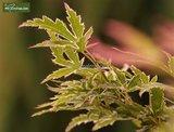 Acer palmatum Butterfly 3 ltr_
