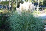 Cortaderia selloana Pumila 1 ltr_