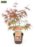 Acer palmatum Atropurpureum -dunkelviolett-_