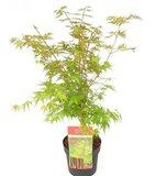 Acer palmatum 'Sangokaku'_