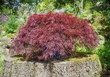 Acer palmatum Dissectum - Topf Ø 19cm - 3 Ltr_