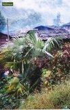 Trachycarpus sp. Nova Topf: 0.7ltr. _