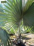 Bismarckia nobilis gesamthöhe 100-120 cm_