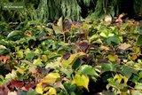 Parthenocissus tric. Veitchii Topf Ø 18 cm_