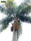 Syagrus romanzoffiana sp. Santa Catarina - Gesamthöhe 40+ cm - Topf 0.7 ltr _