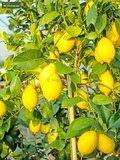 Citrus limon - Gesamthöhe 150-170 cm - Topf Ø 35 cm_