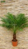 Phoenix roebelenii - Gesamthöhe 40-50 cm - Topf Ø 13 cm_