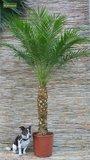 Phoenix roebelenii - Stamm 30-40 cm - Gesamthöhe 120-140 cm - Ø 27 cm Topf_