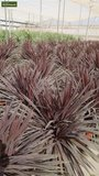 Cordyline australis Purple Tower Topf Ø 22 cm_