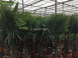 Trachycarpus fortunei - Gesamthöhe 70-90 cm - Topf Ø 22 cm _