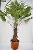 Trachycarpus fortunei stam 70-80 cm