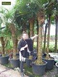 Trachycarpus fortunei - Stamm 70-80 cm - Gesamthöhe 180-220 cm - Topf Ø 40 cm [Palette]_