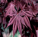 Acer palmatum Atropurpureum dunkelviolett - Gesamthöhe 30-40 cm - 9x9 cm Topf_