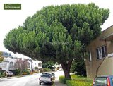 Pinus pinea Stamm 80-100 cm [Palette]_