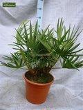 Serenoa repens - Gesamthöhe 20-30 cm - Topf Ø 13 cm_