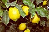 Citrus limon - Gesamthöhe 200+ cm - Topf Ø 55 cm [Palette]_