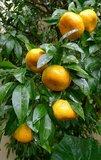 Citrus reticulata - Gesamthöhe 140-160 cm - Ø 26 cm Topf_
