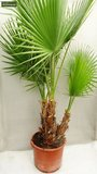 Washingtonia robusta Multistamm - Gesamthöhe 80-100 cm - Topf Ø 22cm  _