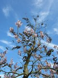 Paulownia tomentosa - Stammumfang 4-6 cm - Gesamthöhe 180+ cm - Topf Ø 35 cm_