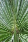 Sabal palmetto - Gesamthöhe 30-50 cm - Topf Ø 13 cm_