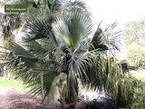 Sabal bermudana - Gesamthöhe 30-40 cm - pot Ø 13 cm_