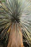 Yucca rostrata - Gesamthöhe 100-120 cm - Topf Ø 38 cm_