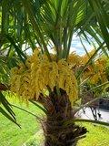 Trachycarpus fortunei - Stamm 30-40 cm - Gesamthöhe 130-150 cm - Topf Ø 31 cm + 10 ltr Palmerde_