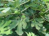 Ficus carica Brown Turkey - Stamm 60-80 cm - Ø 28 cm Topf_