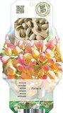 Pistacia lentiscus - Topf 2 ltr_