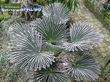 Trachycarpus wagnerianus - Stamm 20-30 cm - Gesamthöhe 80-100 cm - Topf Ø 30 cm_