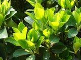 Camellia chinensis - Topf 14 x 14 cm_