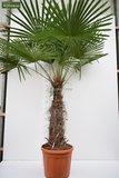 Trachycarpus fortunei stam 100-120 cm