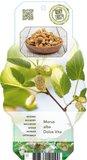 Morus alba Dolce Vita - Topf 2 ltr_