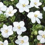 Gardenia jasminoides Kleim's Hardy - Topf 14 x 14 cm_