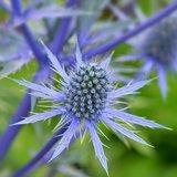 Eryngium planum Pen Blue - Topf 14 x 14 cm_