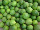 Limetten Pflanze - Citrus hystrix - Gesamthöhe 50+ cm - Topf 14 x 14 cm_