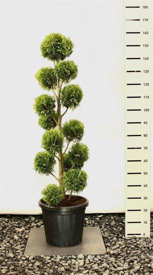 Thuja occidentalis 'Yellow Ribbon' Multibol - 125-150 cm