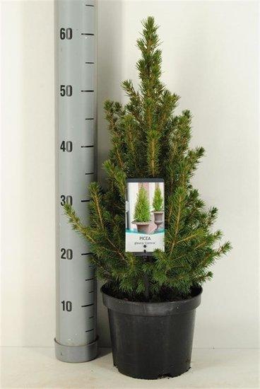 Kerstboom Picea glauca Conica - 3 ltr Topf - 60-80 cm