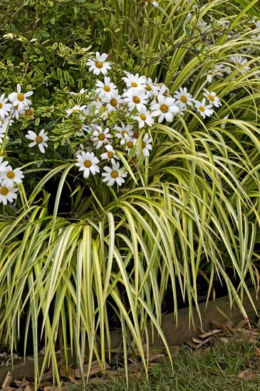 Carex oshimensis Evergold 1 ltr