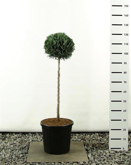 Chamaecyparis lawsoniana Columnaris Kugel auf Stamm 80 cm