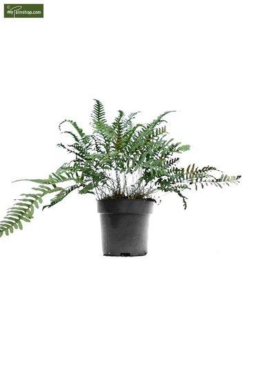 Polypodium vulgare 5 Ltr Topf