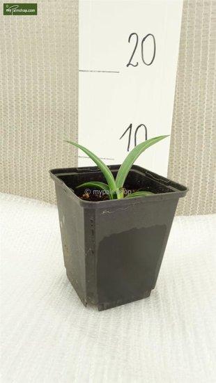 Yucca baccata 0,7 ltr.