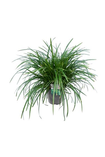 Carex foliosissima Irish Green Green 5 ltr