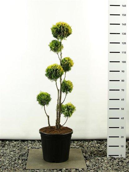 Thuja occidentalis Golden Smaragd Multibol 150-175 cm
