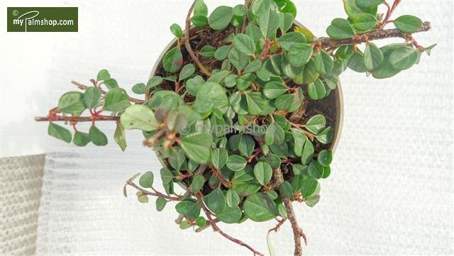 Cotoneaster procumbens Streibs Findling