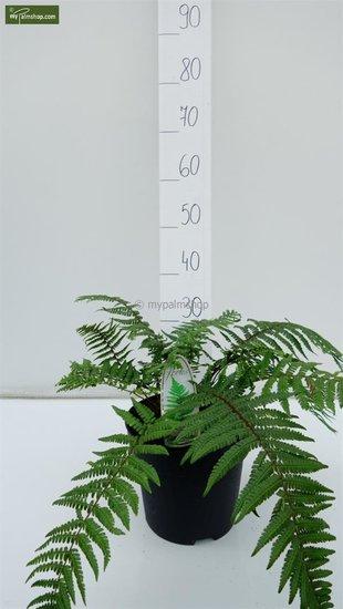Dryopteris wallichiana 5 Ltr Topf