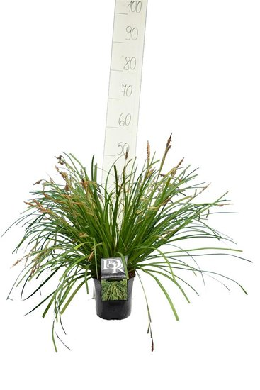 Carex Evergreen 2 ltr