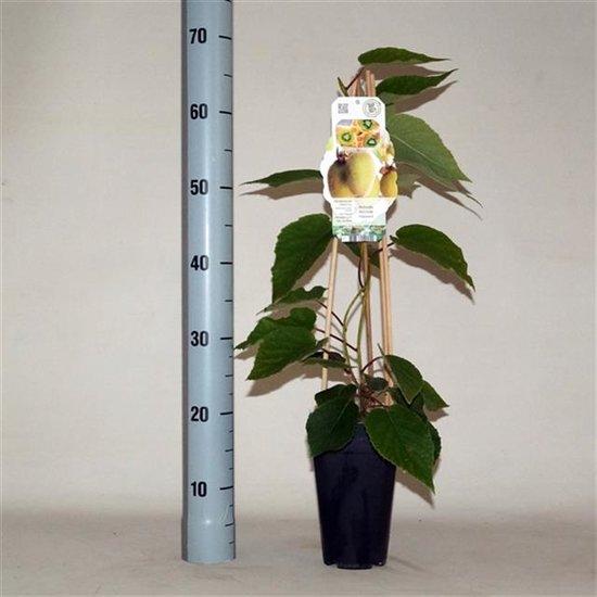Actinidia Chinensis Hayward